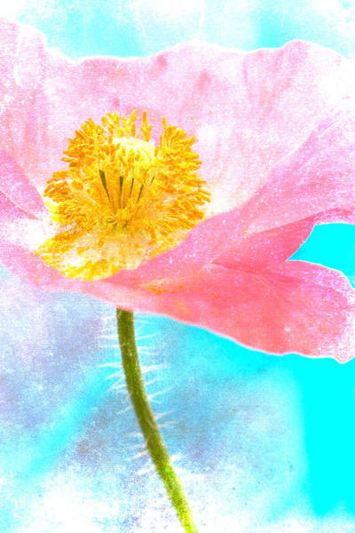 Cheerful Wall Art - Photograph - Pink Poppy On Blue by Carol Leigh
