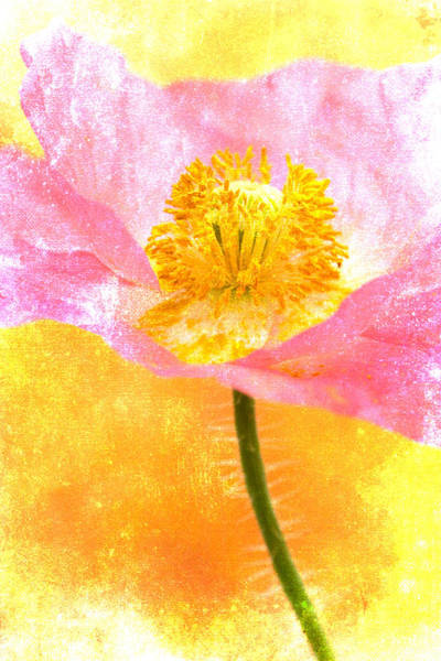 Cheerful Wall Art - Photograph - Pink Poppy On Yellow by Carol Leigh