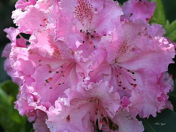 Photograph - Pink Rhododendrons by Chriss Pagani