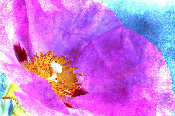 Wall Art - Photograph - Pink Rock Rose On Blue by Carol Leigh