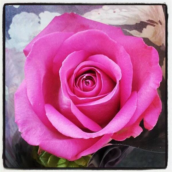 Grace Wall Art - Photograph - Pink Rose 2011 by Grace Bryant
