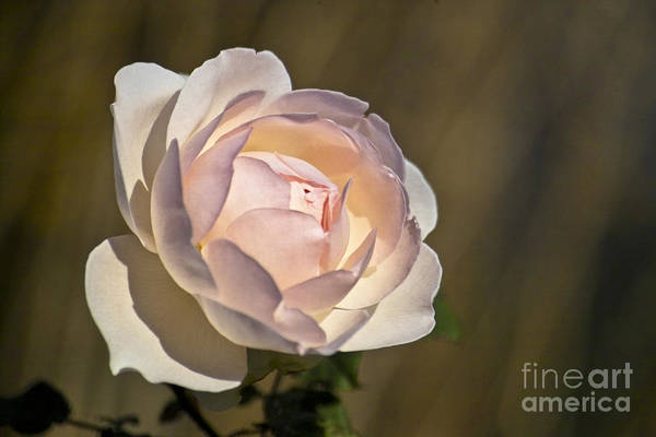 Photograph - Pink Rose Blossom by Heiko Koehrer-Wagner