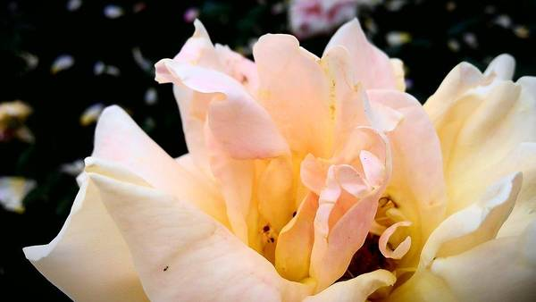 Antwerp Photograph - Pink Rose by (c) Serge Jespers