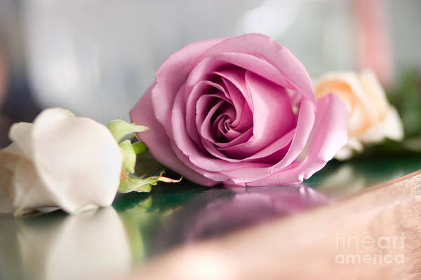 Photograph - Pink Rose by Cindy Singleton