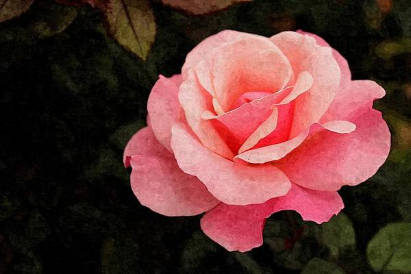 Photograph - Pink Rose In Digital Oil by Sarah Broadmeadow-Thomas