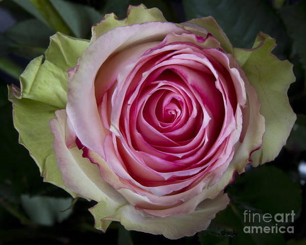 Photograph - Pink Rose Spiral by James BO Insogna