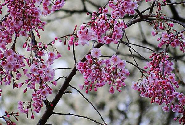 Photograph - Pink Spring Blossoms by Beth Akerman
