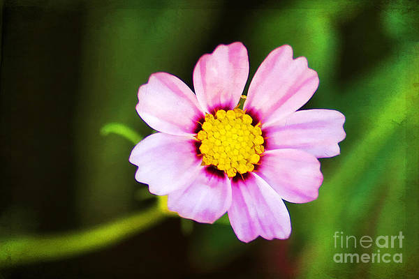 Fisher Center Photograph - Pink Sunshine by Darren Fisher