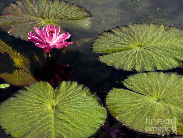 Photograph - Pink Water Lily I by Heiko Koehrer-Wagner