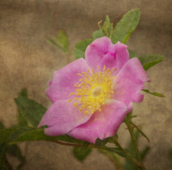 Wall Art - Photograph - Pink Wild Rose by Dale Kincaid