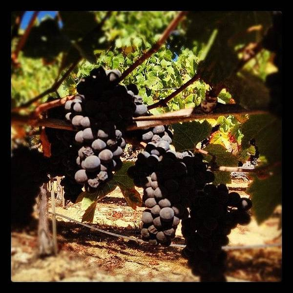 Wine Wall Art - Photograph - #pinot #grapes Almost Ripe #harvest2012 by Eric Kent Wine Cellars