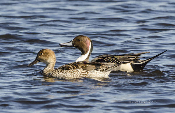 Photograph - Pintails by Mike Fitzgerald