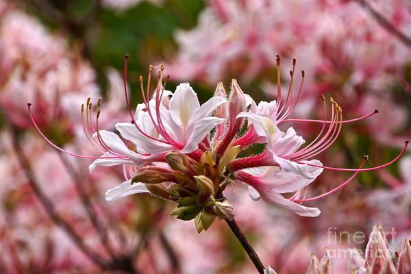 Photograph - Pinxterflower Azalea by Byron Varvarigos