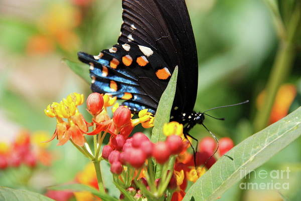 Photograph - Pipevine Swallowtail Too by Ken Williams