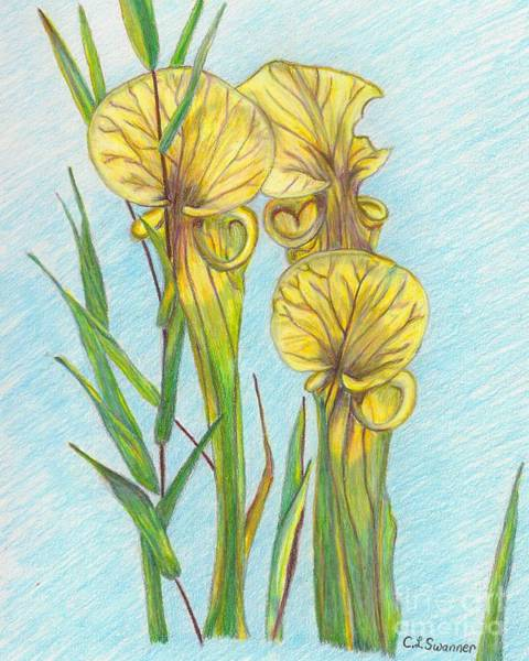 Carnivorous Drawing - Pitcher Plants by C L Swanner