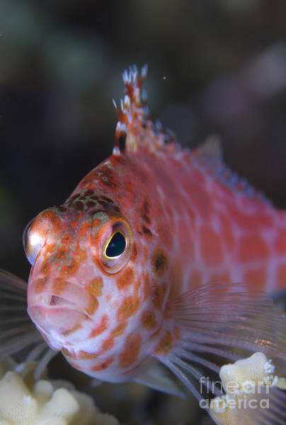 Kimbe Bay Wall Art - Photograph - Pixy Hawkfish, Kimbe Bay, Papua New by Steve Jones