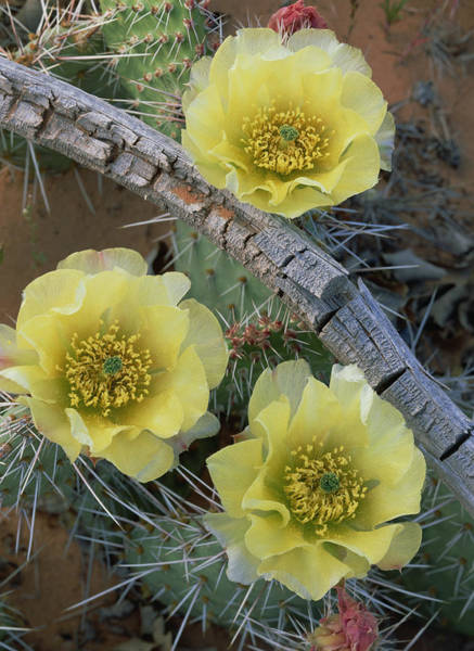 Photograph - Plains Pricklypear Opuntia by Tim Fitzharris