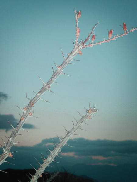 Death Valley Photograph - Plant by Naxart Studio