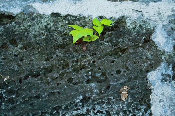 Photograph - Plant On A Wall by Tom Singleton