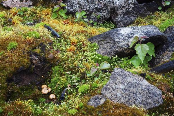 Liverwort Photograph - Plant Regrowth After Forest Fire by Bjorn Svensson
