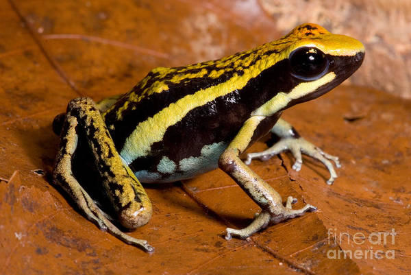 Pleasing Wall Art - Photograph - Pleasing Poison Frog by Dant� Fenolio