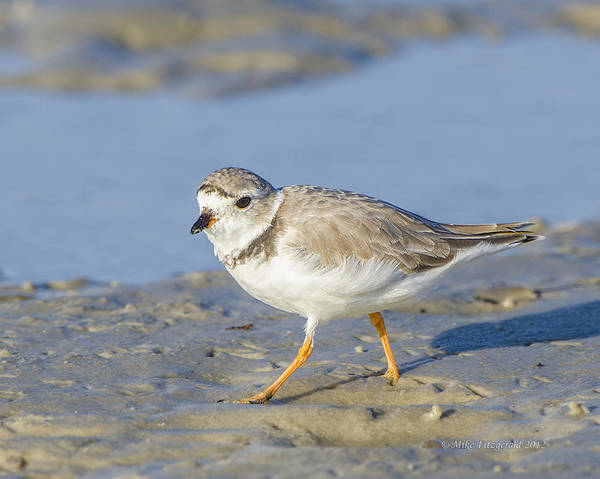 Photograph - Plover by Mike Fitzgerald