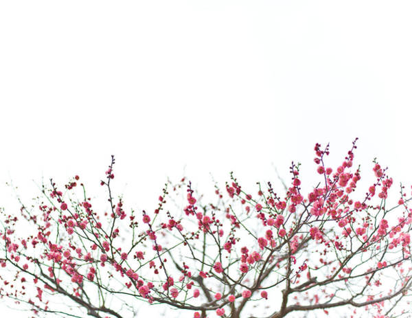 Okayama Prefecture Photograph - Plum Blossoms by Nazra Zahri
