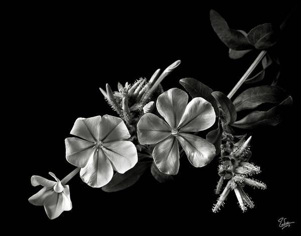 Plumbago In Black And White Art Print