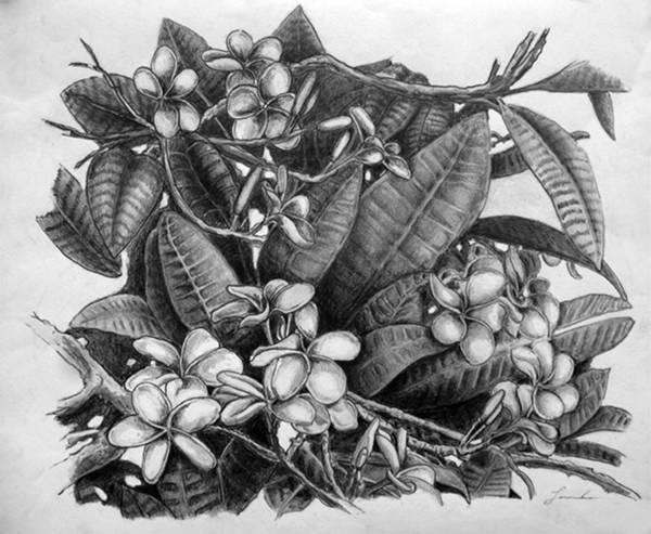 Oahu Drawing - Plumeria by Lourdan Kimbrell