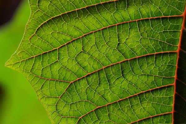 Photograph - Poinsettia Leaf I by JD Grimes