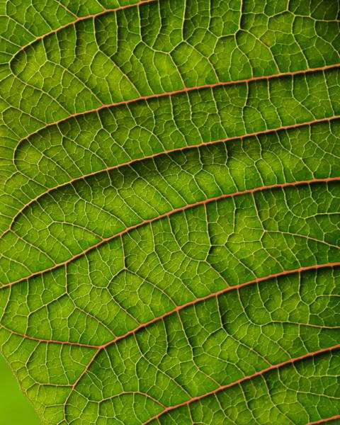 Photograph - Poinsettia Leaf II by JD Grimes