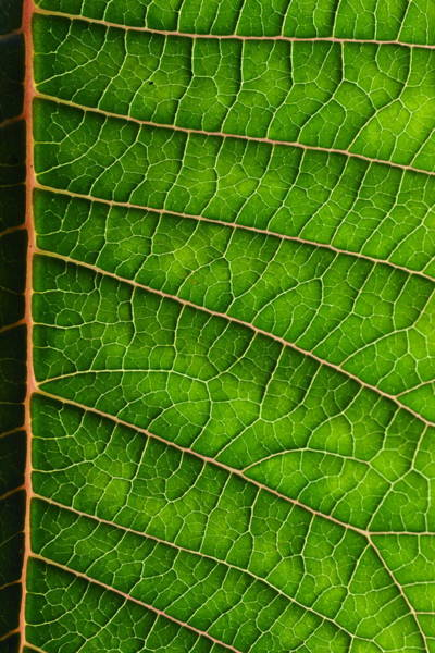 Photograph - Poinsettia Leaf IIi by JD Grimes