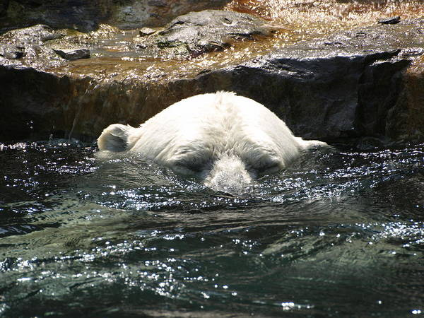 Photograph - Polar Bear 2 by Jeffrey Peterson