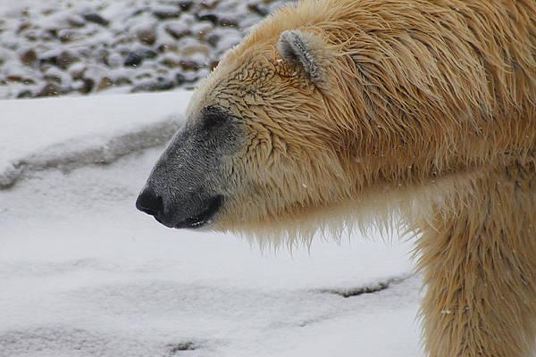 Photograph - Polar Bear 2 by Scott Hovind