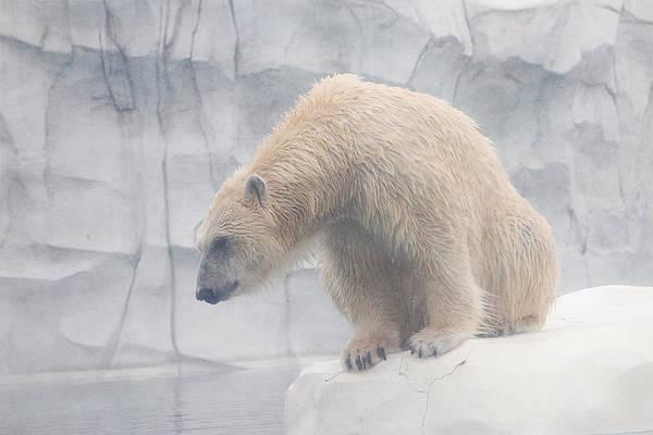 Photograph - Polar Bear 8 by Scott Hovind