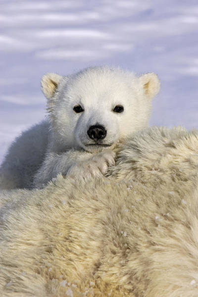 Photograph - Polar Bear Cub Canada by Suzi Eszterhas