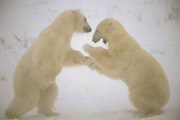 Photograph - Polar Bear Males Sparring Churchill by Flip Nicklin