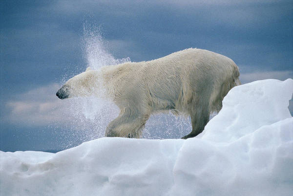 Photograph - Polar Bear Shaking Wager Bay Canada by Flip Nicklin