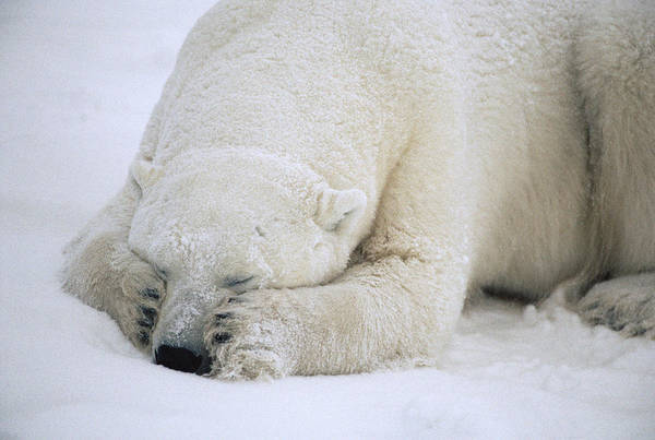 Photograph - Polar Bear Sleeping In Churchill by Flip Nicklin