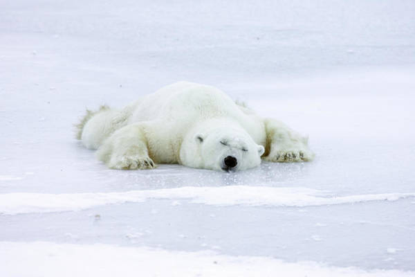Photograph - Polar Bear Ursus Maritimus Resting by Matthias Breiter