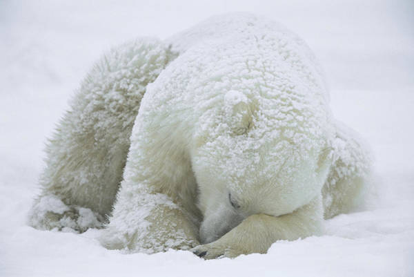 Photograph - Polar Bear Ursus Maritimus Sleeping by Konrad Wothe