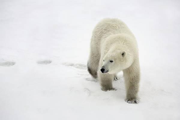 Wild Life Photograph - Polar Bear Walking by Richard Wear
