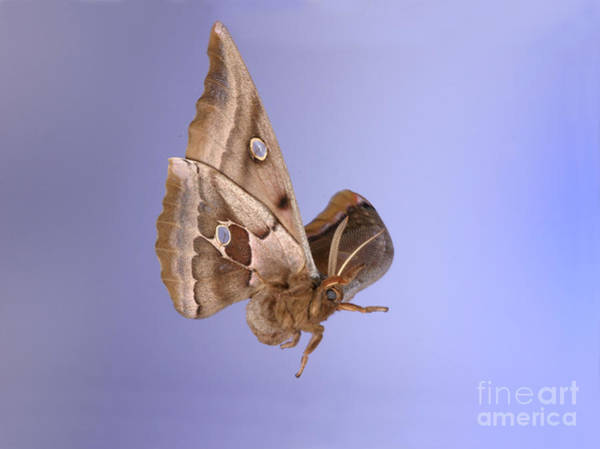Photograph - Polyphemus Moth In Flight by Ted Kinsman