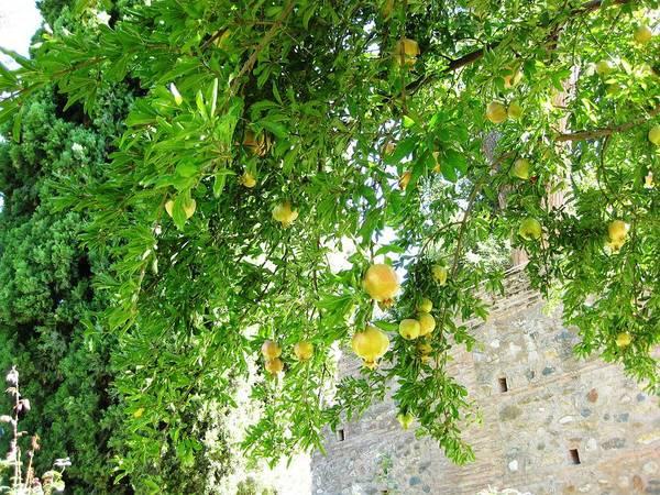 Photograph - Pomegranate Fruit Tree Granada Spain by John Shiron