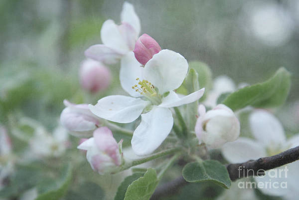 Apple Blossom Photograph - Pomme D Api 01 - S01bt01b by Variance Collections