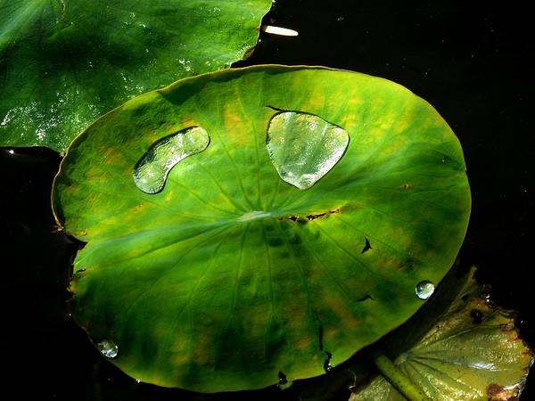 Wall Art - Photograph - Pond Lily Pad In Dappled Shade by Eve Paludan