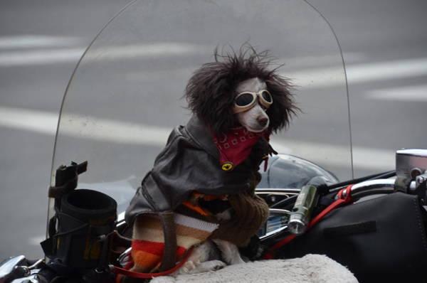 Photograph - Poodle On A Bike by Randy J Heath