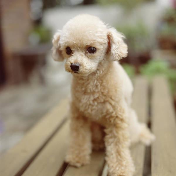 Poodle Photograph - Poodle On The Wood Deck by Tsuneo Yamashita