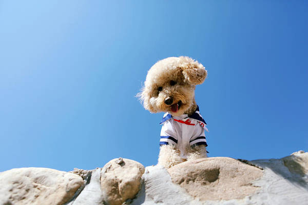 Poodle Photograph - Poodle Wearing Clothes by Photography by Bobi