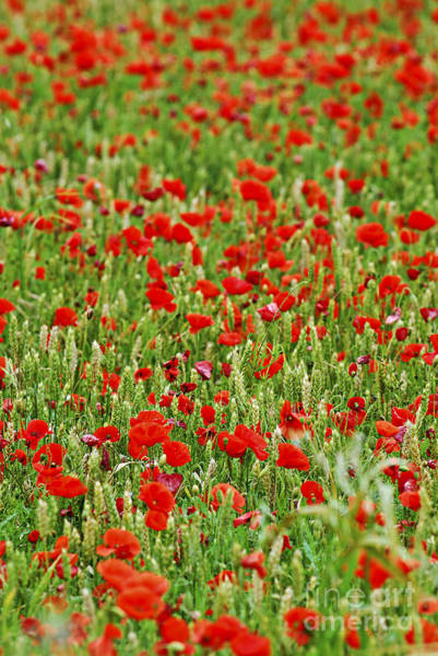 Wall Art - Photograph - Poppies In Rye by Elena Elisseeva